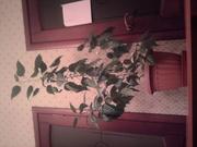 продам растения комнатные