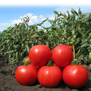 Продам семена томата Nuksy / Накси