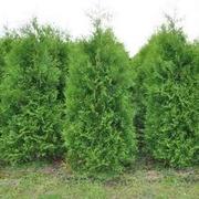 озеленение деревья