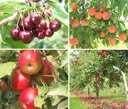 посадка плодовых